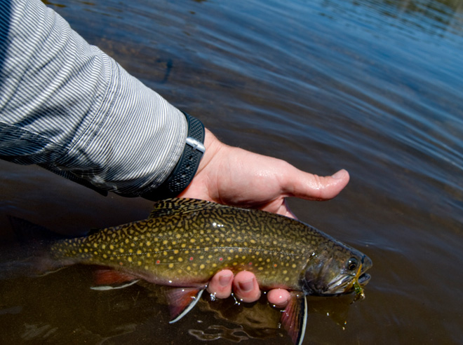Brook Trout in and near White River Arkansas