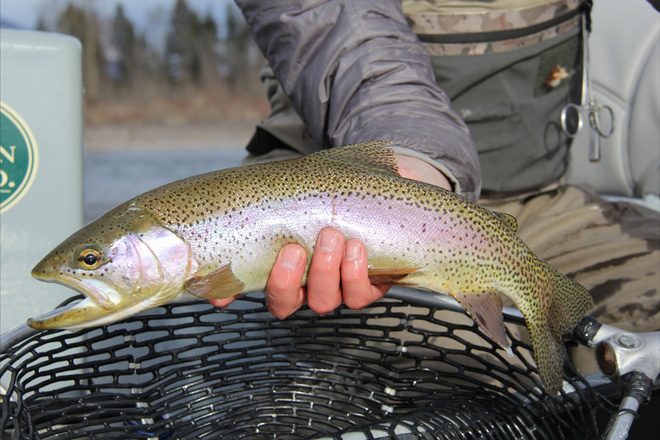 Cutthroat Trout in and near White River Arkansas